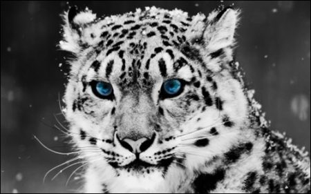 Snow-Leopard-black-wallpapers